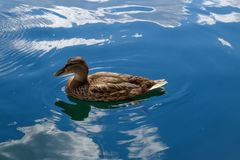 Wild duck floats on water. Perfect lovely bird. The world of animals around Stock Photos