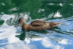 Wild duck floats on water. Perfect lovely bird. The world of animals around Royalty Free Stock Images
