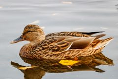 Wild duck floats on the water surface of the lake Royalty Free Stock Photography