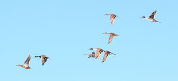 Wild duck. A flock of wild ducks flying in the blue sky Royalty Free Stock Photography