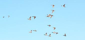 Wild duck. A flock of wild ducks flying in the blue sky Stock Photography