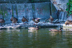 Wild duck flock Stock Image