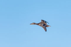 Wild duck flying Royalty Free Stock Photography