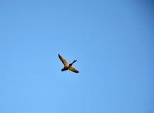 Wild duck flying Stock Image