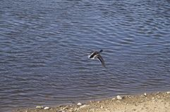 A wild duck is flying over the river bank. In the photo a wild duck is flying over the river bank Stock Photo