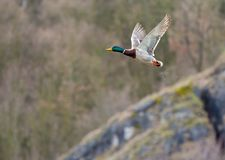One wild duck flying over the river. Wild duck flying over the river Stock Photo