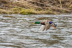 Wild duck male flying over the river. Wild duck flying over the river Stock Images
