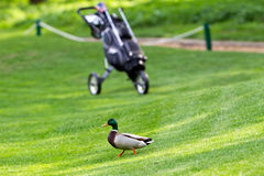 Wild duck on golf-course Royalty Free Stock Image