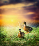 Wild duck on the grass on the background of beautiful nature and sunset sky. Wild duck on the grass on the background beautiful nature and sunset sky royalty free stock photos