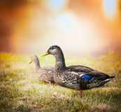 Wild duck on the grass on the background of beautiful nature and sunset sky. Wild duck on the grass on the background beautiful nature and sunset sky royalty free stock image