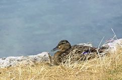 Wild duck in a grass Royalty Free Stock Photo