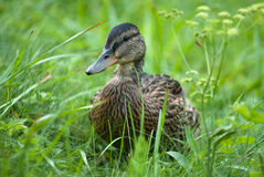 Wild duck on grass Royalty Free Stock Image