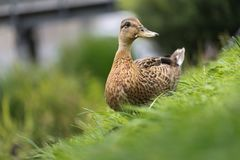 Wild duck on a green meadow grazing. Stock Photography