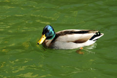 Wild duck. On the green water Royalty Free Stock Image