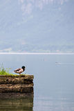 Wild duck on Hallstatt lake in Austria Royalty Free Stock Photo
