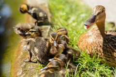 Wild duck with her chicks. Numerous duck chicks with the duckling - close-up Royalty Free Stock Images