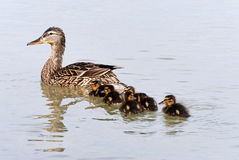 Wild duck and her ducklings Royalty Free Stock Images