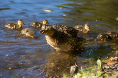 Wild duck with her ducklings royalty free stock photo