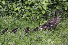 Wild duck with her juveniles Royalty Free Stock Image