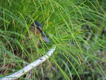 Wild duck hiding in thick grass.  Royalty Free Stock Images