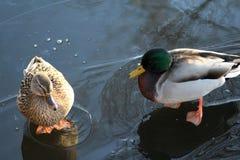 Wild duck on ice Stock Photo
