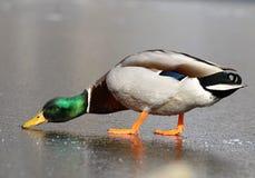 Wild duck on ice Stock Photos