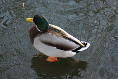 Wild duck on ice Royalty Free Stock Photography