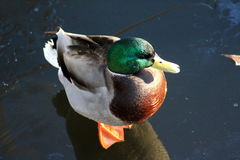Wild duck on ice Stock Images