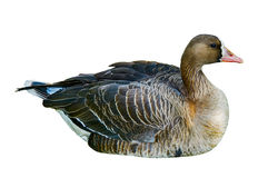 Wild duck isolated on white background. Royalty Free Stock Photo