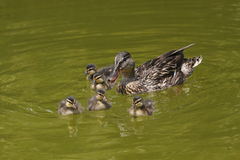 Wild duck with its cubs Royalty Free Stock Image