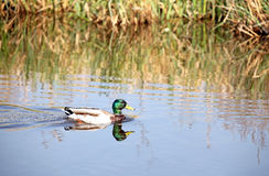 Wild duck at Kinderdijk, Netherlands Stock Photo