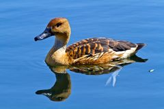 Wild duck in the lake Stock Photography