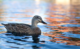 Wild duck on a lake Royalty Free Stock Photo