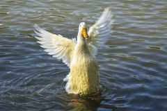 A wild duck Royalty Free Stock Photography