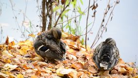Wild duck on the lake in  autumn stock footage