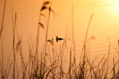 Wild duck in the lake. Backo Gradiste in South east of Europe during sunset water become Yellow Stock Images