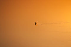 Wild duck in the lake. Backo Gradiste  in South east of Europe during sunset water become Yellow Royalty Free Stock Photography