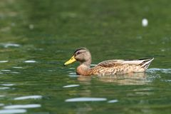 Wild duck on the lake Royalty Free Stock Images