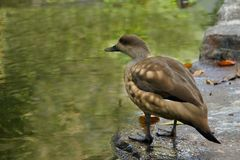 Wild duck on the lake Royalty Free Stock Photos