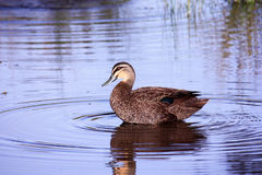 Wild duck on lake with reflection. Brown and white duck on still lake with water reflection Royalty Free Stock Photos
