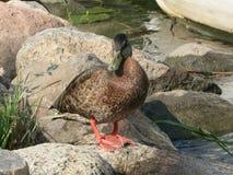Wild duck Stock Photos