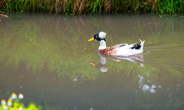 Wild duck in the lake Royalty Free Stock Photos