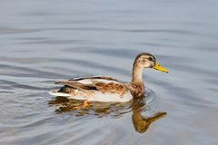 Wild duck in the lake on a sunny autumn day Stock Image