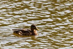 Wild duck in the lake on a sunny autumn day Royalty Free Stock Photo