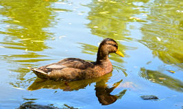 Wild duck on the lake Stock Photo
