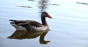 Wild duck on the lake. A swimming wild mallard duck Royalty Free Stock Images