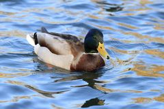 Wild duck in the lake Stock Photo
