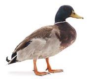 Wild duck. Stock Photos