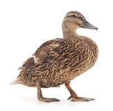 Wild duck. Royalty Free Stock Photo