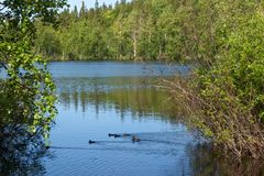 Wild duck led ducklings on the first walk. In the water forest lake stock photo